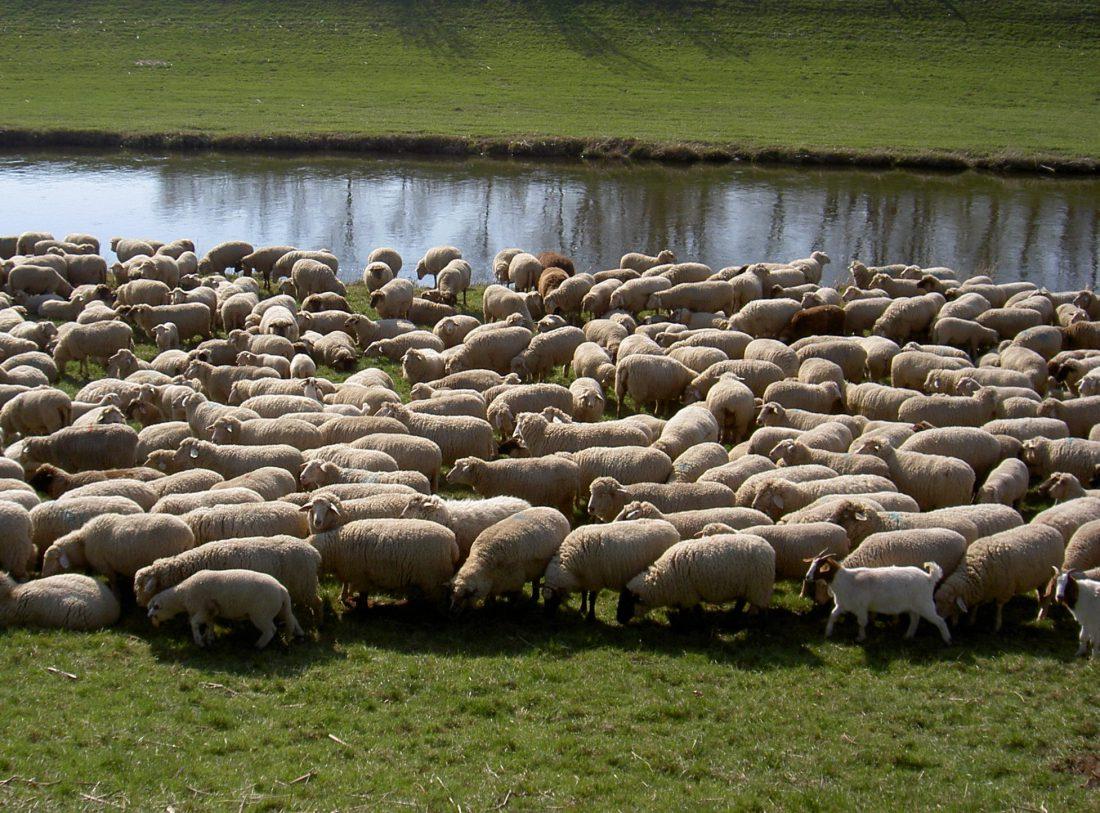 Wolf oder Schaf